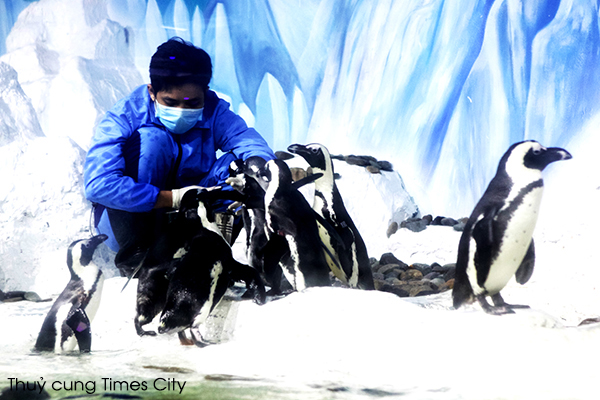 Đại gia đình Chim Cánh cụt tại Thủy cung VinpearlLand Times City