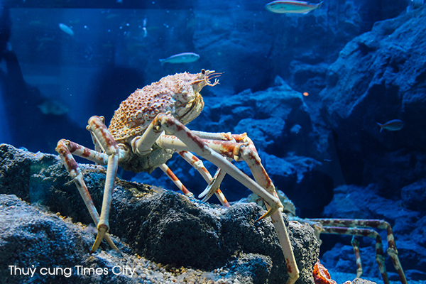 Loài cua nhện khổng lồ quý hiếm lần đầu tiên xuất hiện tại Việt Nam